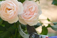 Pruning Roses and Shrubs