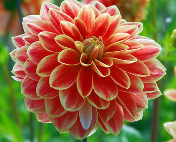 Growing Dahlias