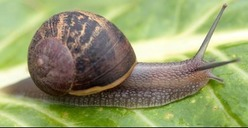 Controlling Snails and Slugs in the Garden