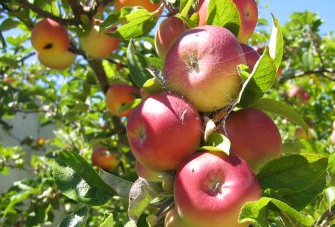 Thinning and summer pruning fruit trees
