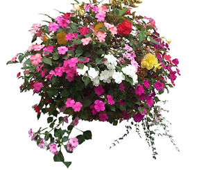 Hanging Baskets - planting hints and tips