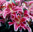 Lily (lilium) growing hints and tips