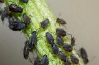 Greenfly, Blackfly and Aphid control