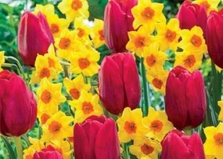 Tulips and Daffodils - hints and tips