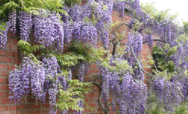 Winter Pruning Wisteria