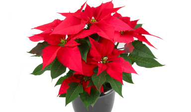 Poinsettias easy care tips