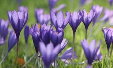 Planting Autumn Crocus Bulbs