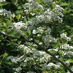 Growing Ornamental Trees
